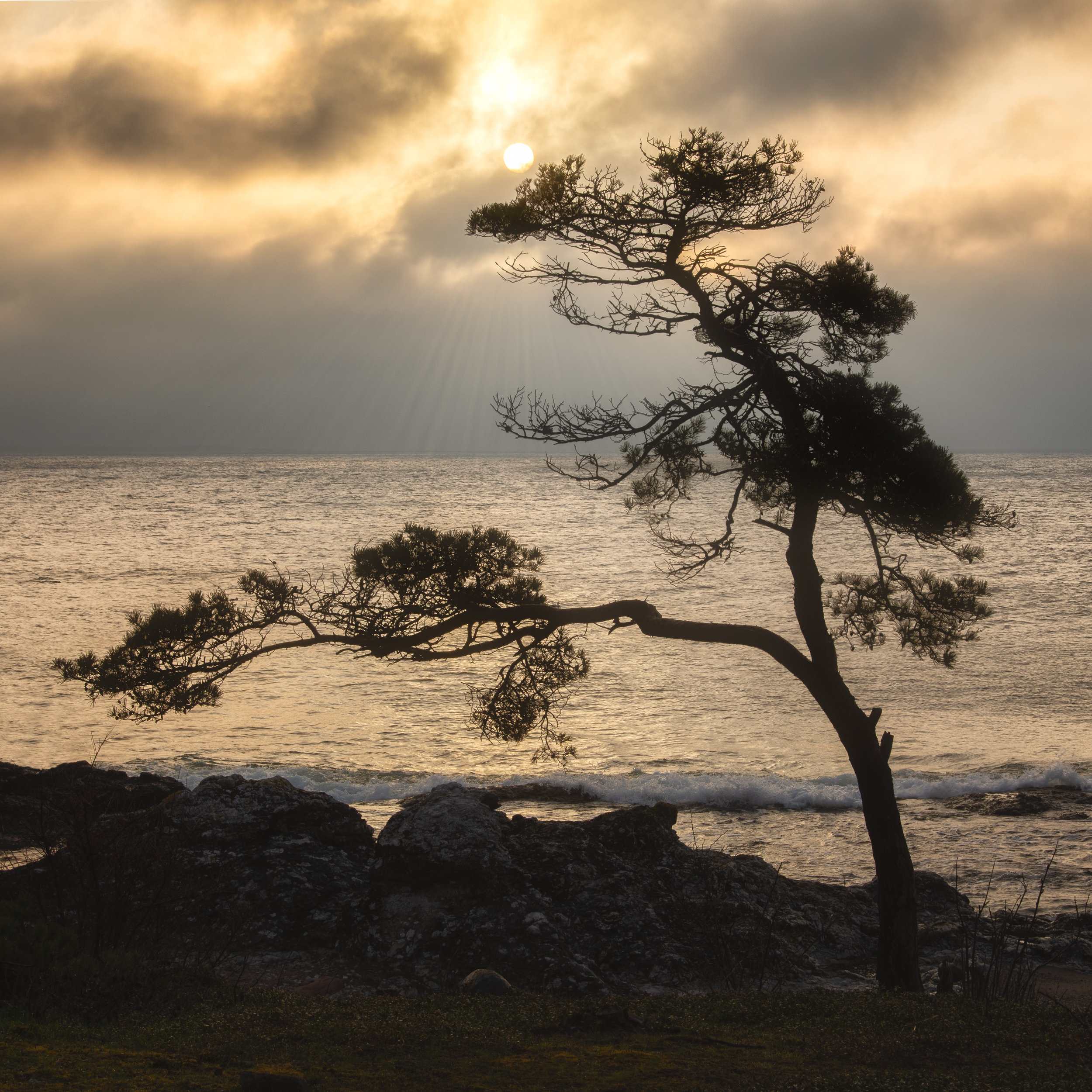 A lonley pine tree looking over the are of Folhammar