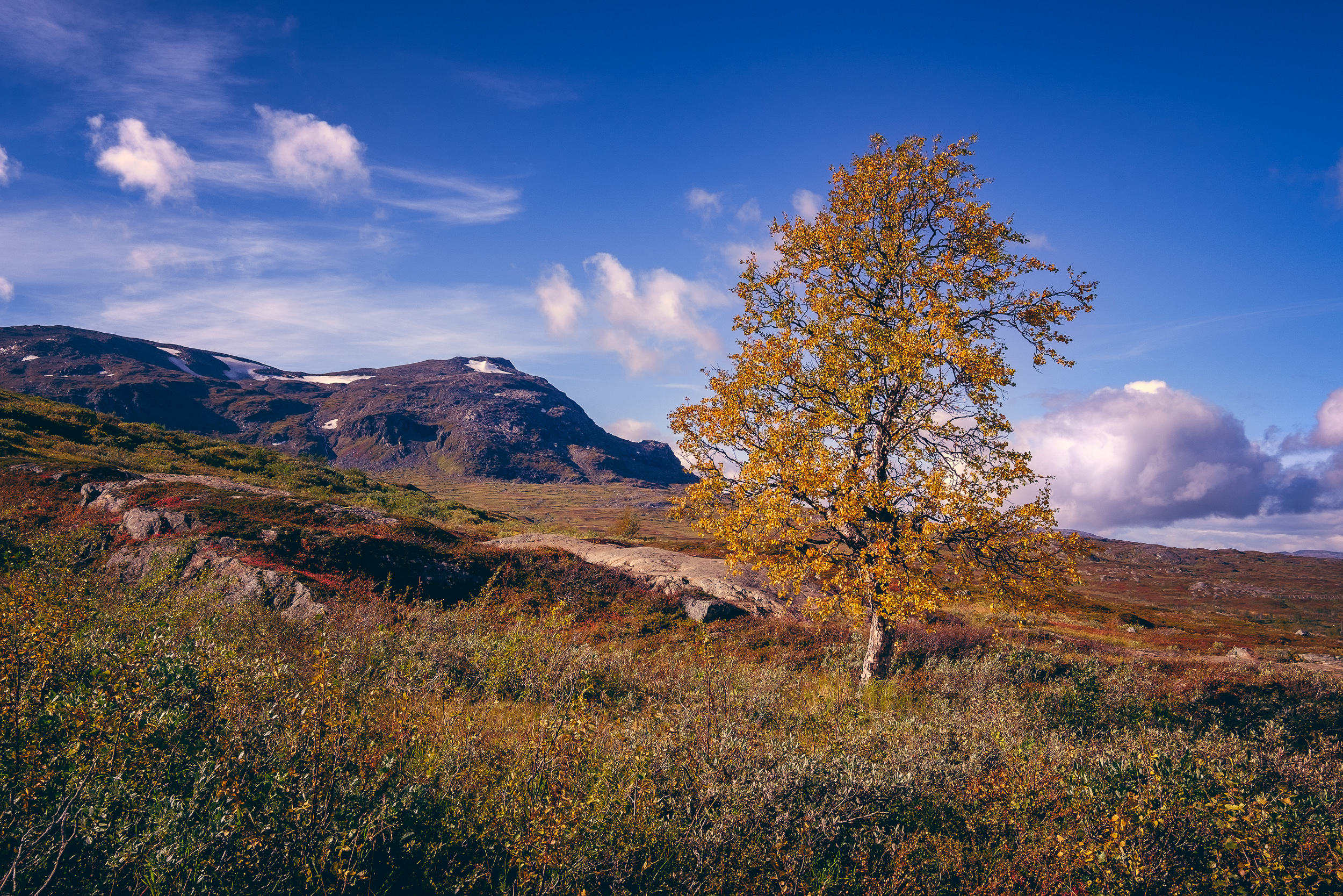 Fall color on a small mountain birch in the beginning of the hike to Rissajaure (Trollsjön)