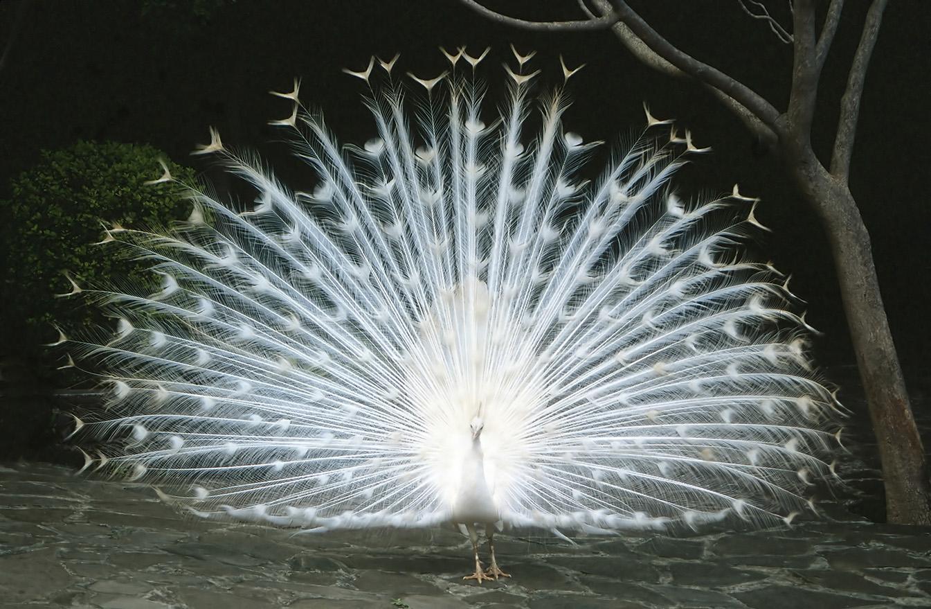 White Peacock, Madeira