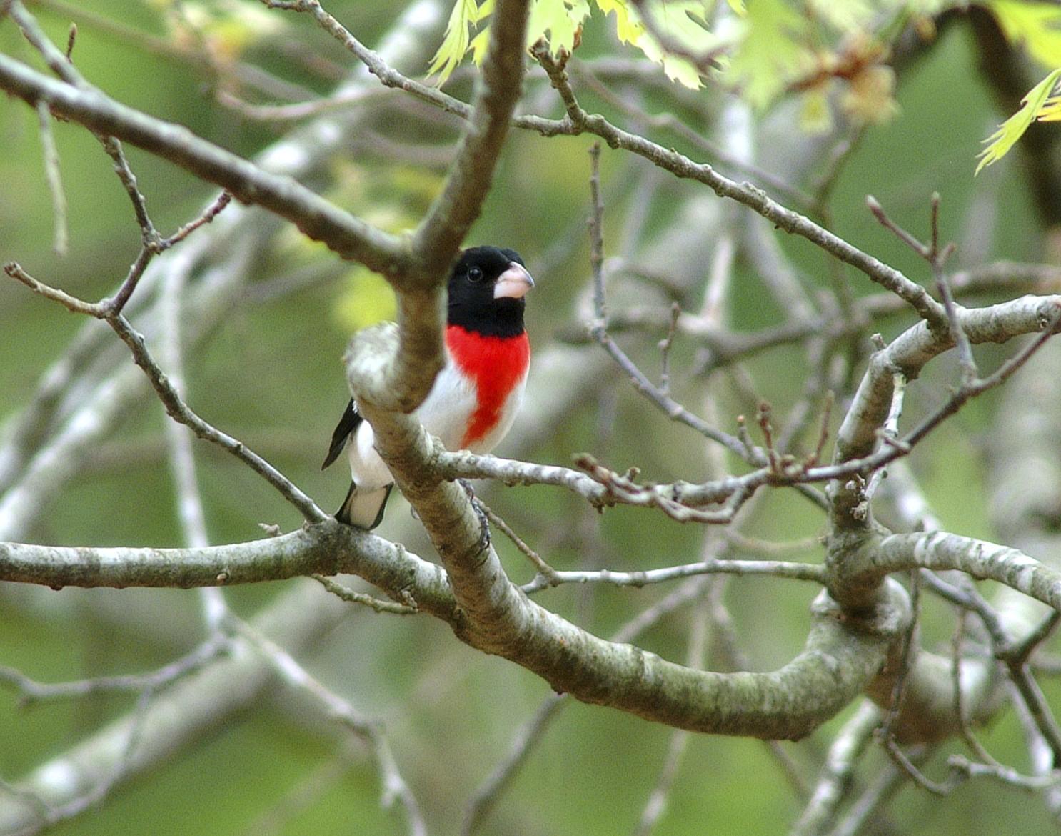 red breasted grosbeak.jpg
