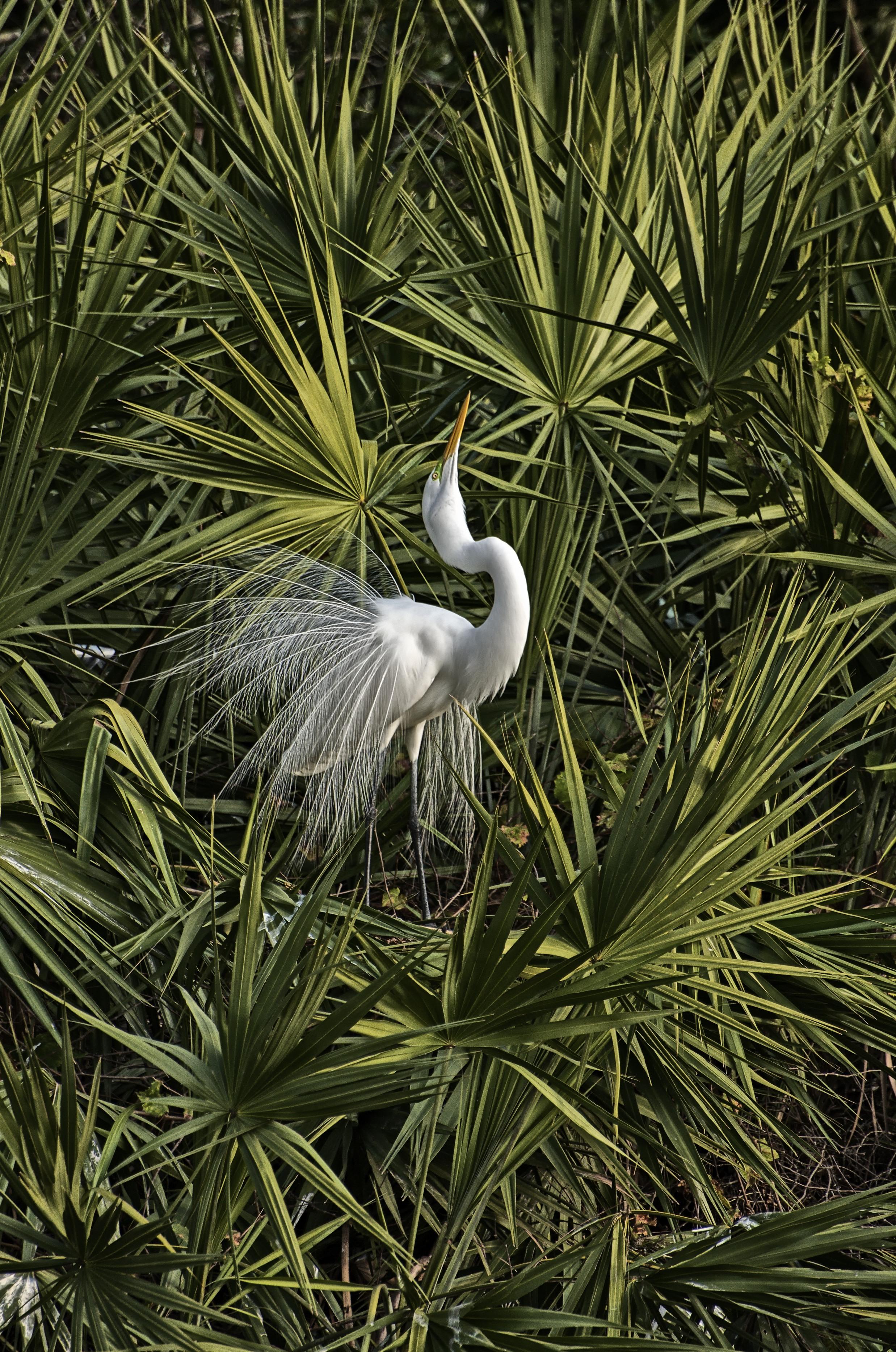Egret Splendour
