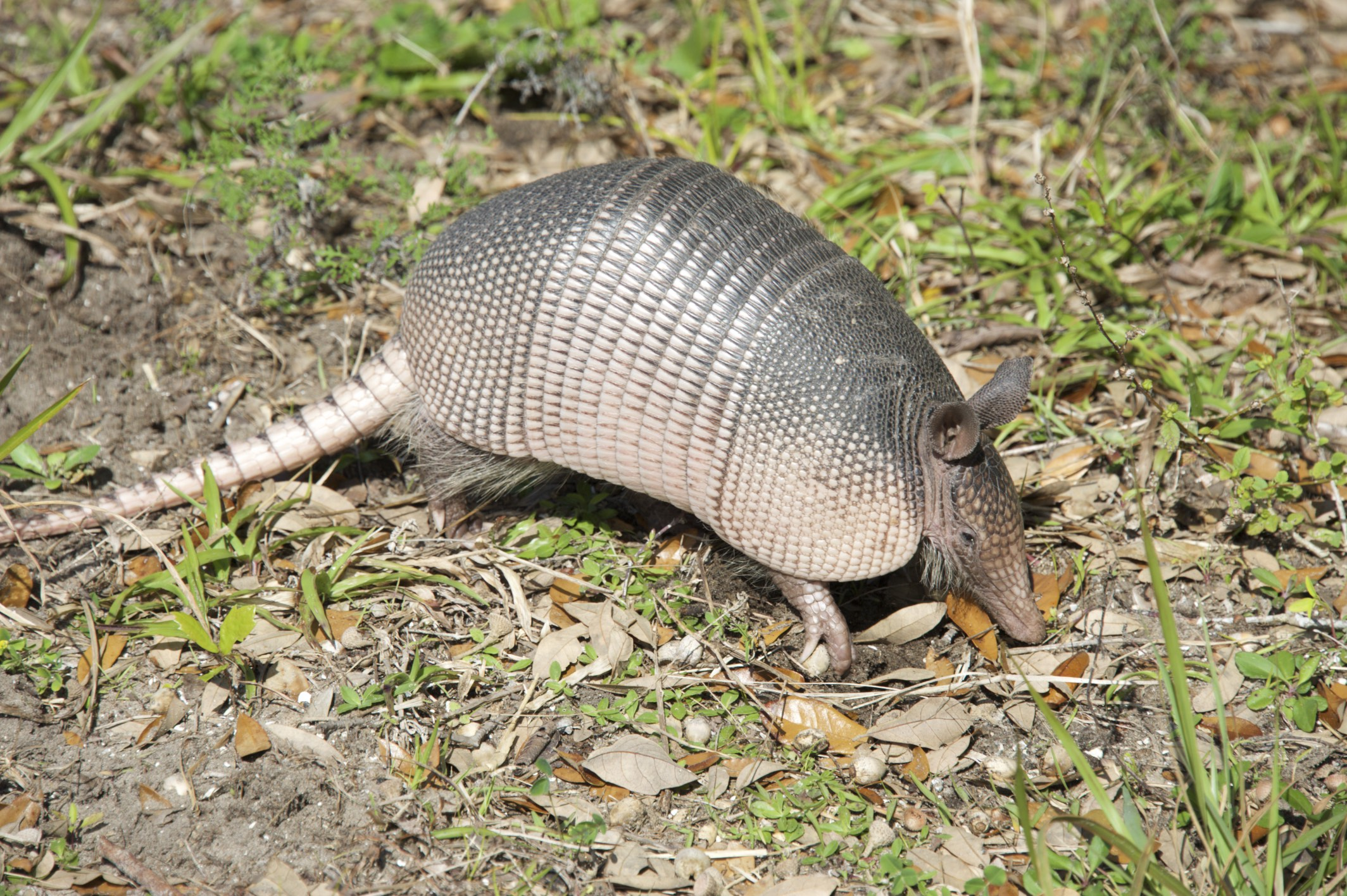 An armadillo graced us with his presence