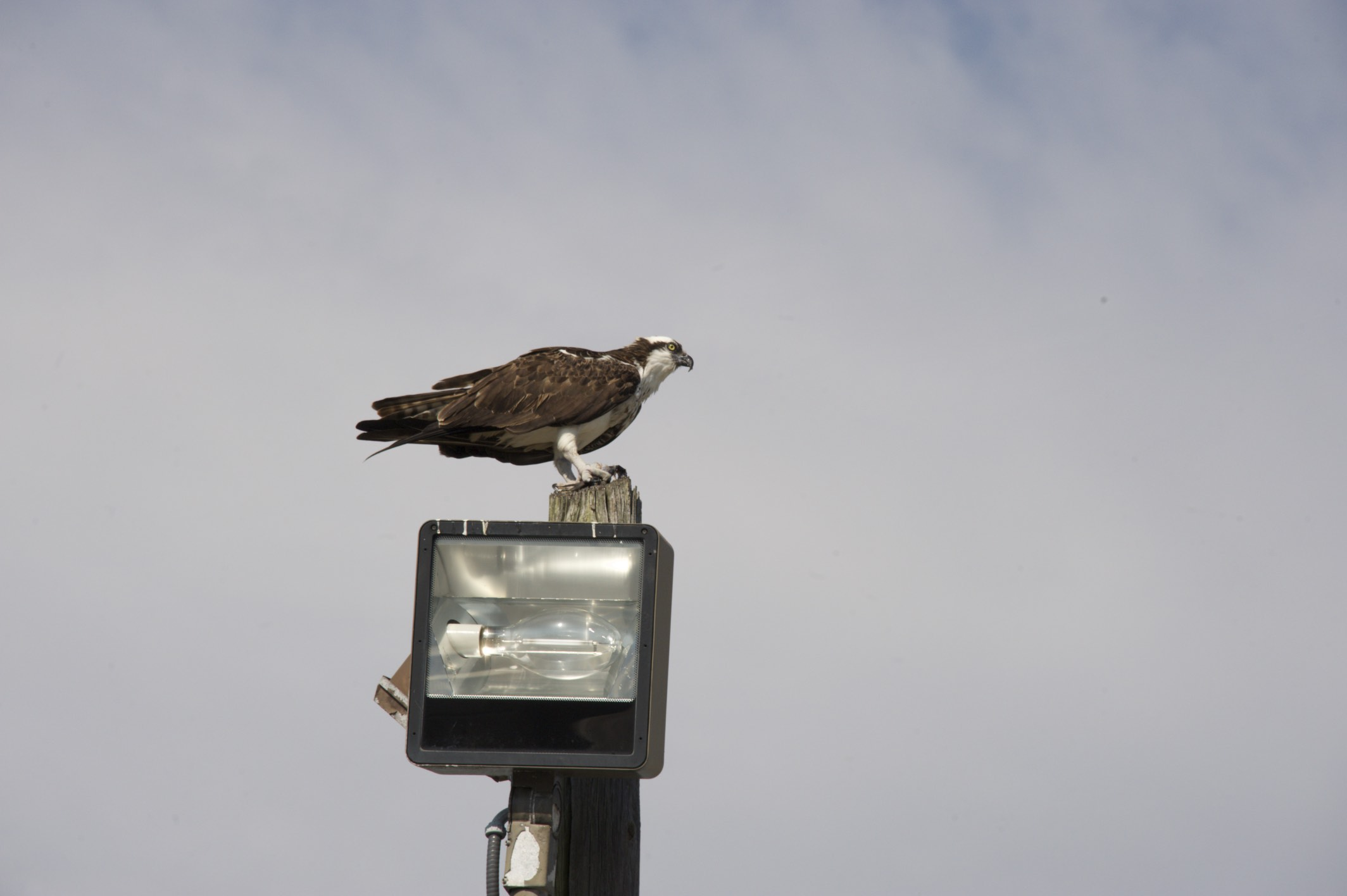 Here is an Osprey by the waterside.