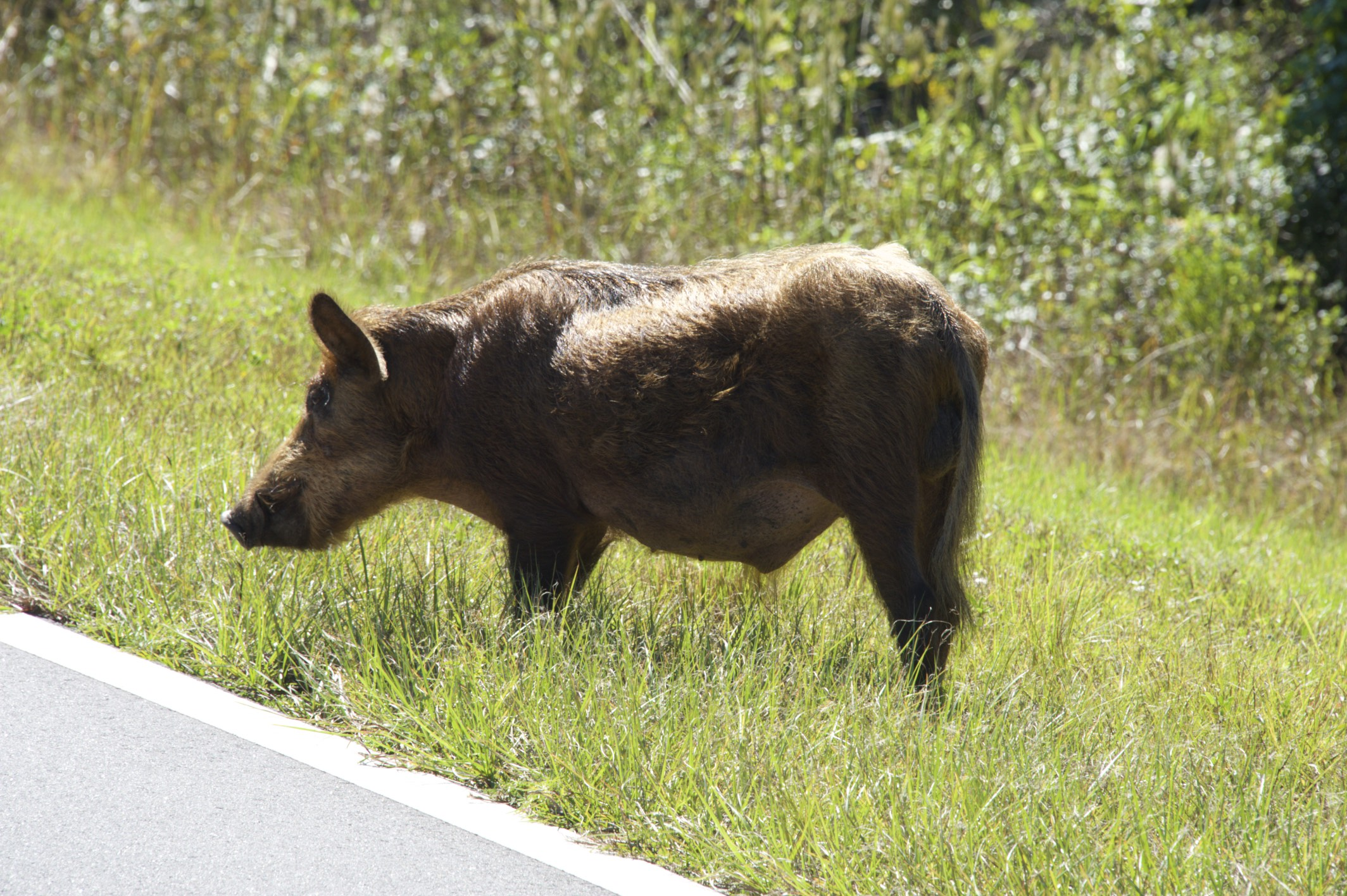 Another Ferel Hog on the roadside. Didn't even run away.