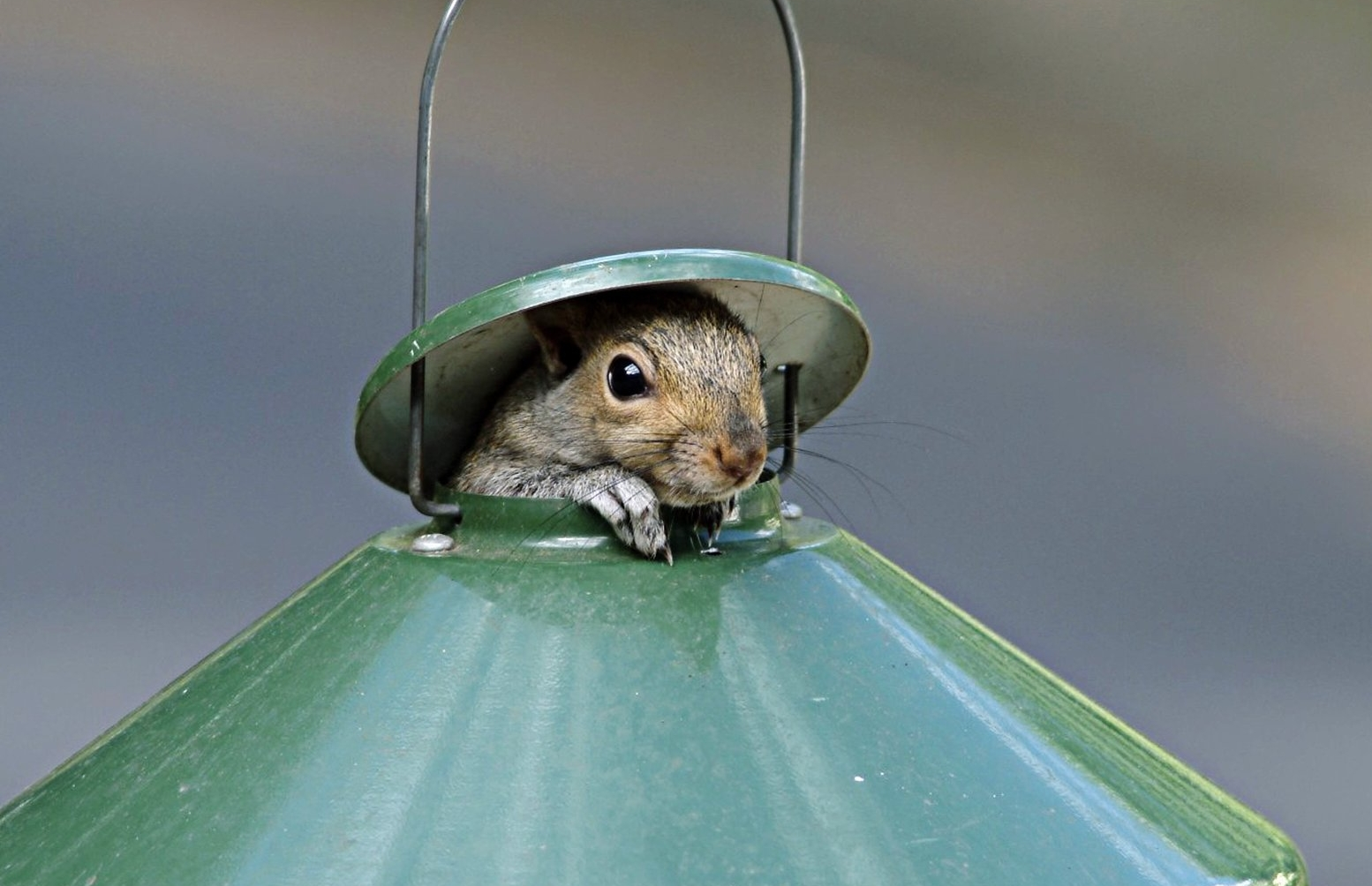I so wish I could take credit for this shot but I can't. I left my camera on the tripod pointing at the bird feeder and went inside to make a cup of tea. While I was inside the house the squirrel popped his head up and my son Andrew saw it and rushed to the camera and took the shot for me.