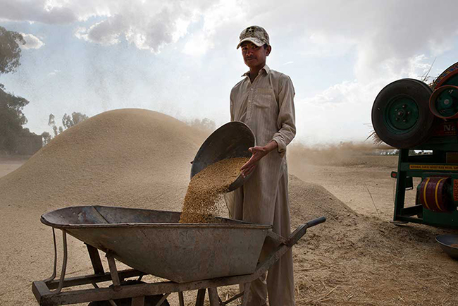 Threshing Wheat, Pakistan