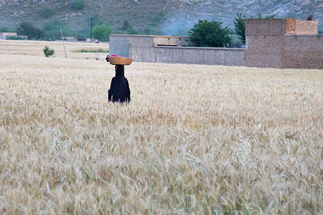 Wheat Field, Pakistan