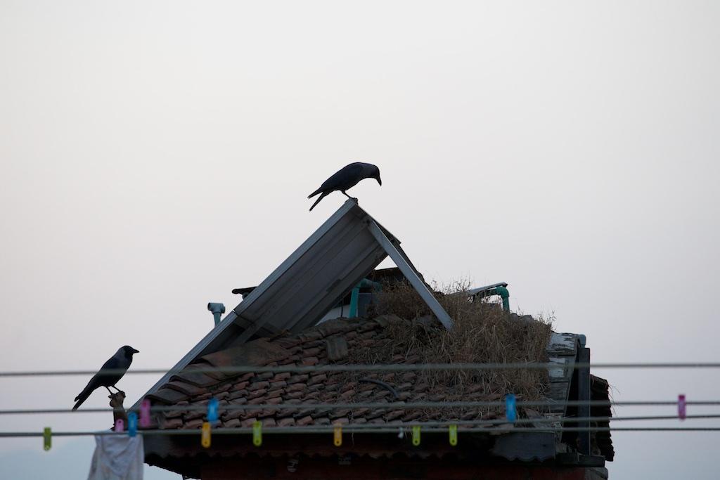 Crows, Nepal