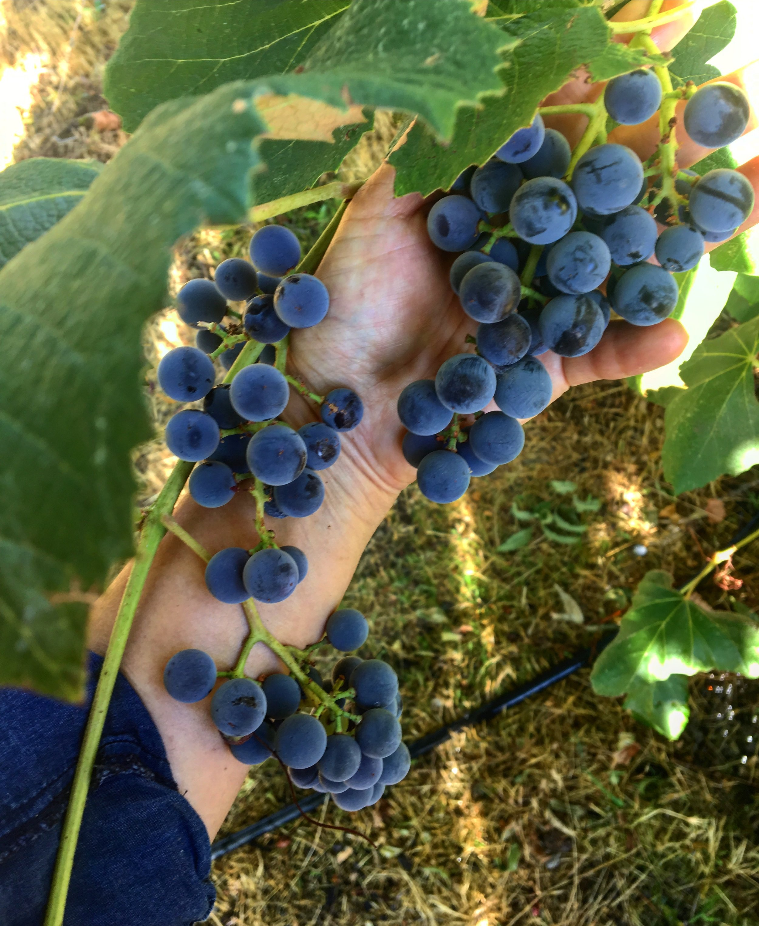 Concord Grapes from our ranch in Tehachapi