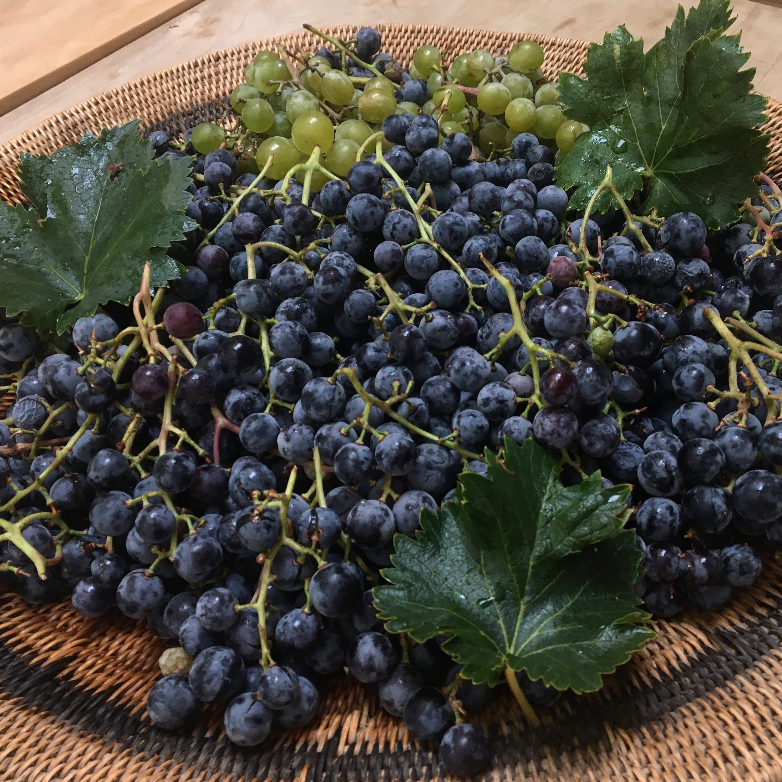 Freshly picked concord grapes
