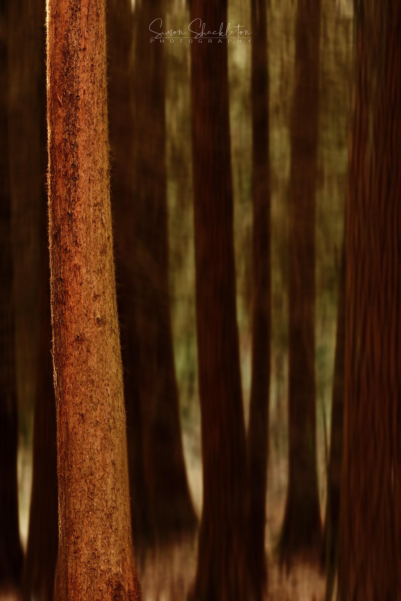 Redwoods, Orlestone Forest.
