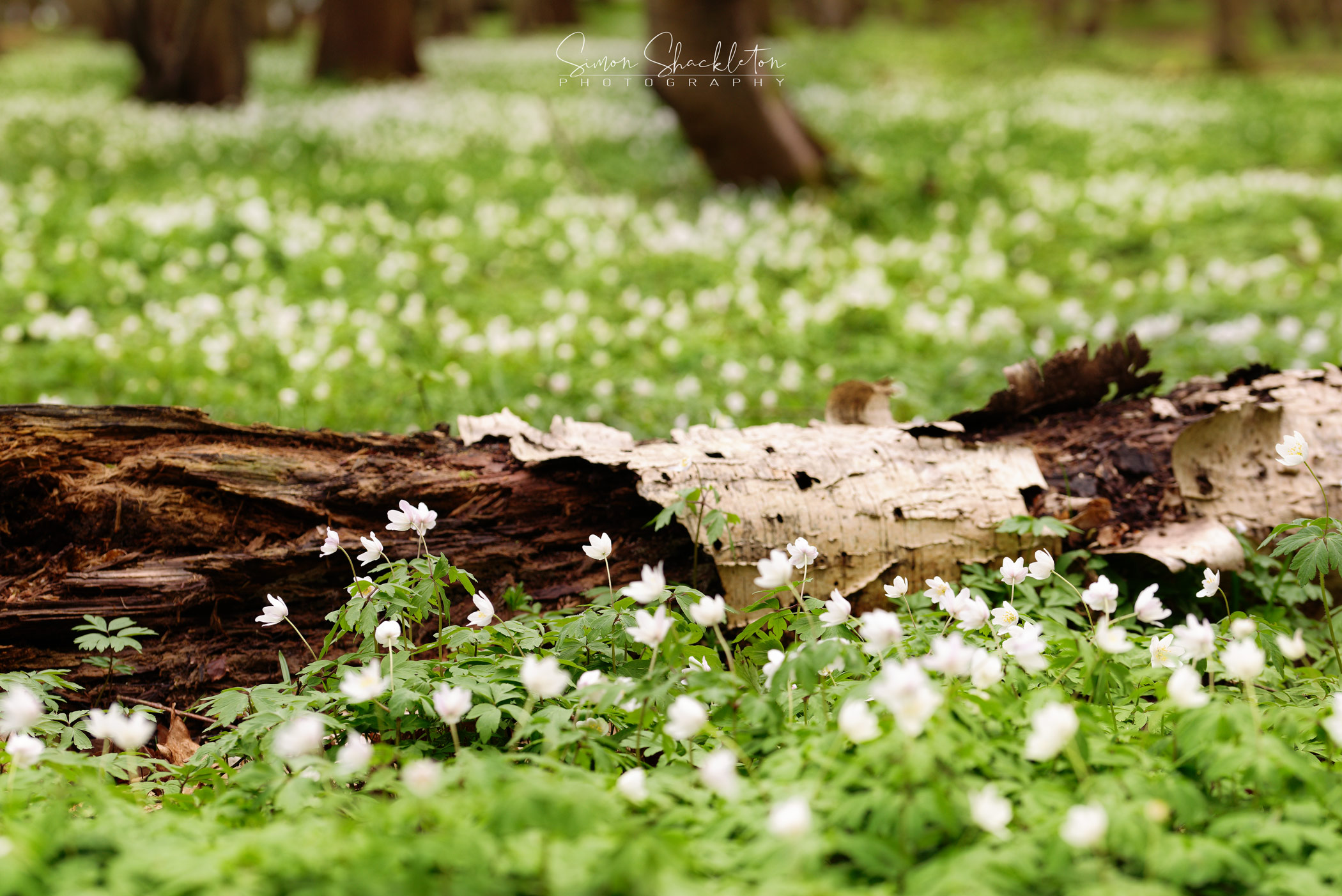 A carpet of anemones in a Kentish Woodland.