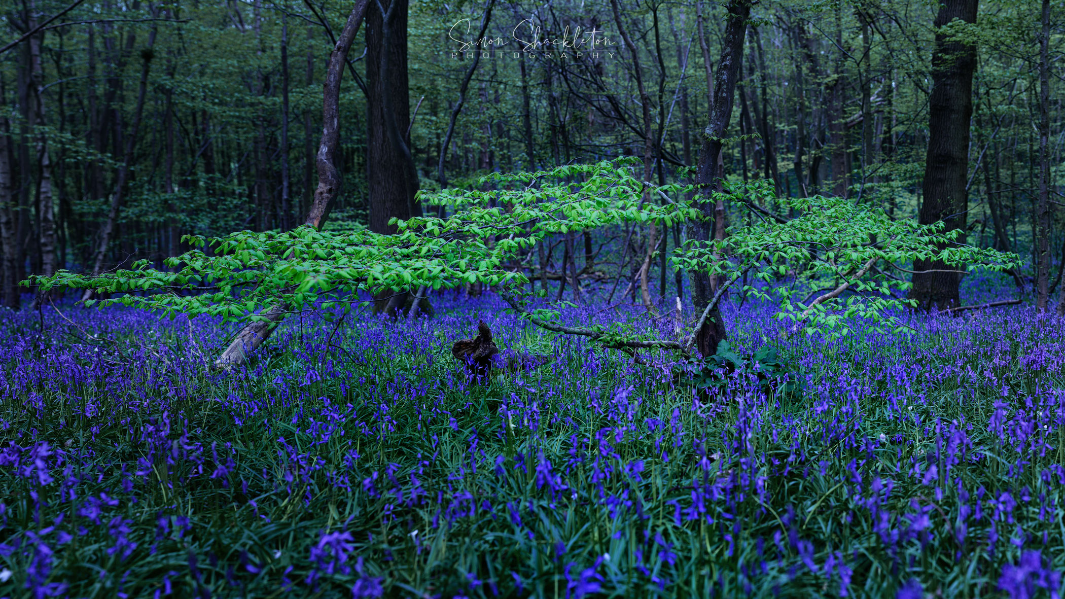 Bluebells at Blue Hour