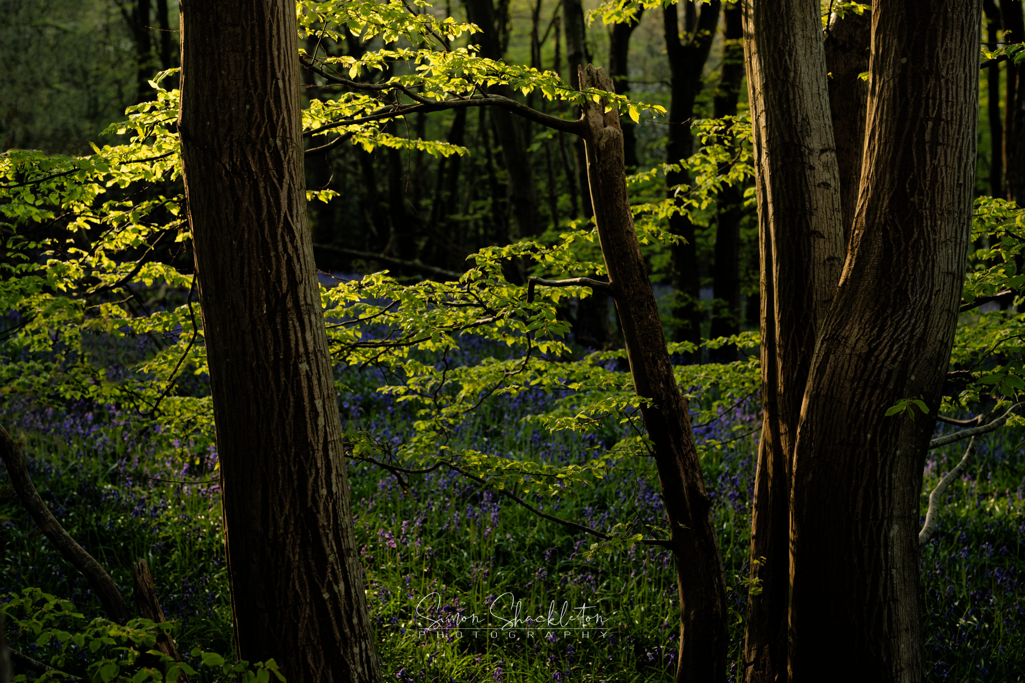 Bluebells and Beech leaves in the Golden Hour of Dawn.
