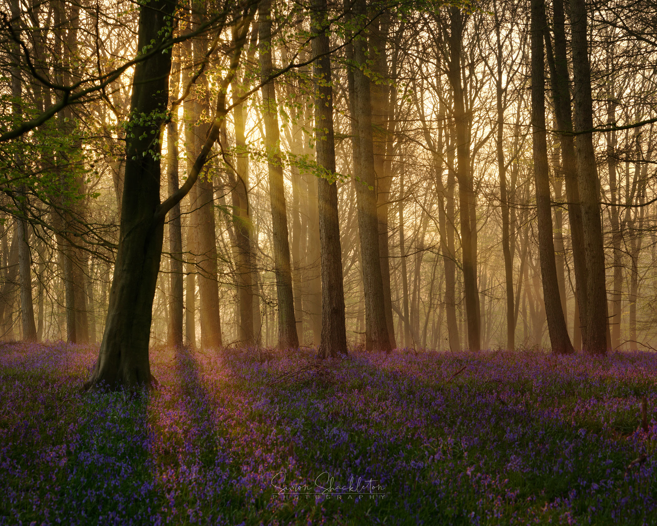 Misty Morning in the Bluebell Woods