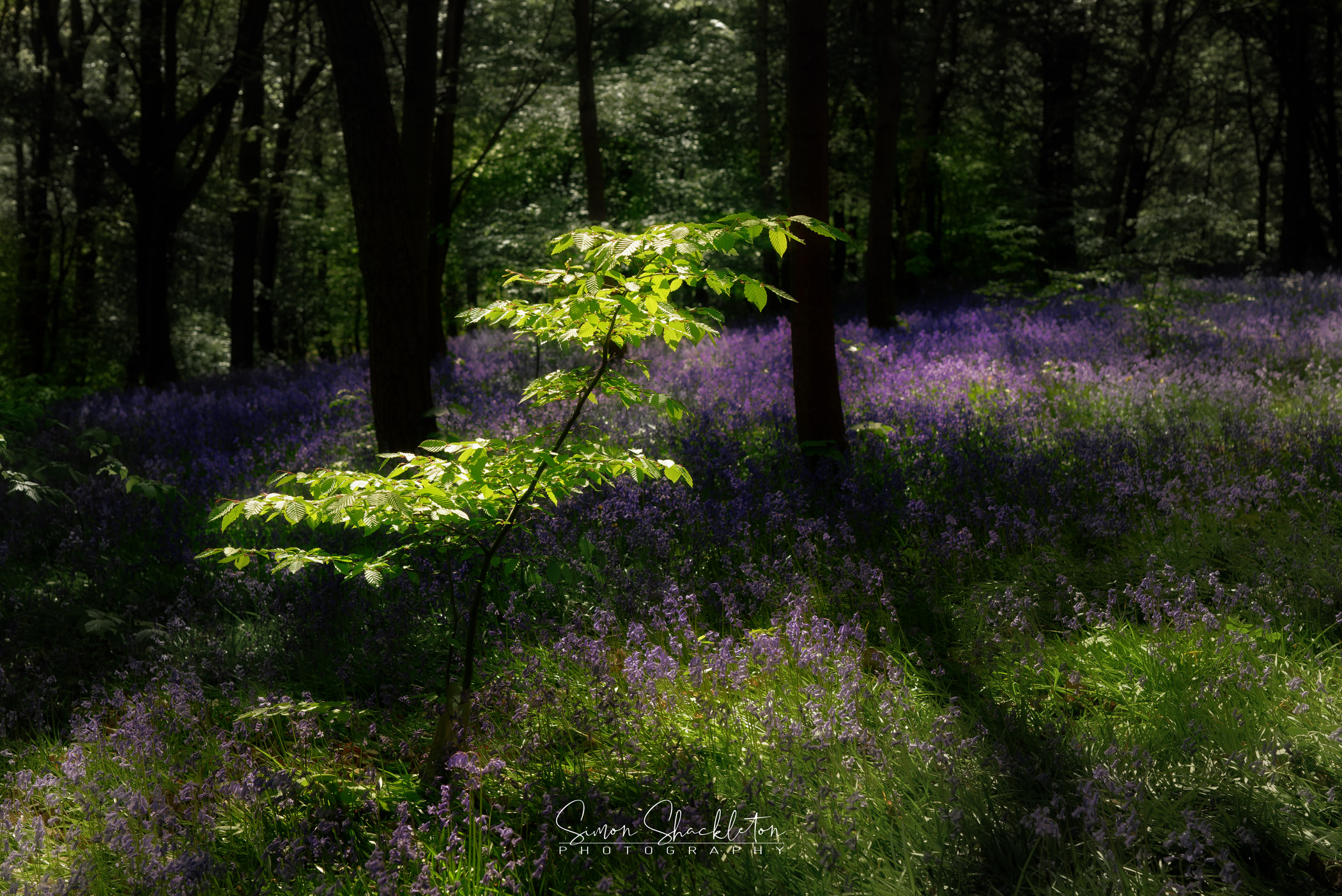 Bluebells at Hole Park, Kent, shot in bright sunlight, mid-afternoon.