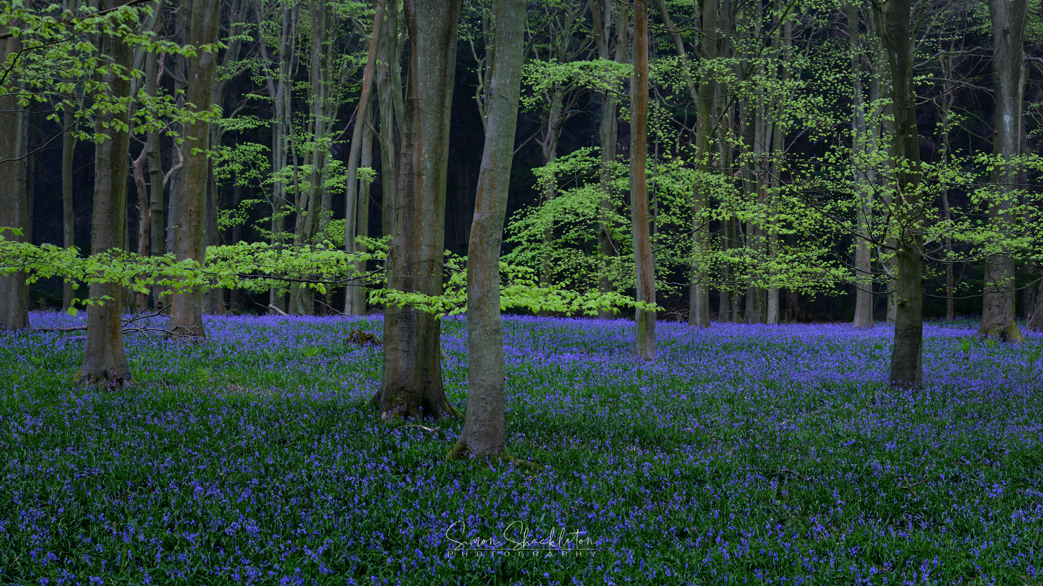 Bluebells and beech at Kingswood in Kent, shot at 5.40am, just before sunrise.
