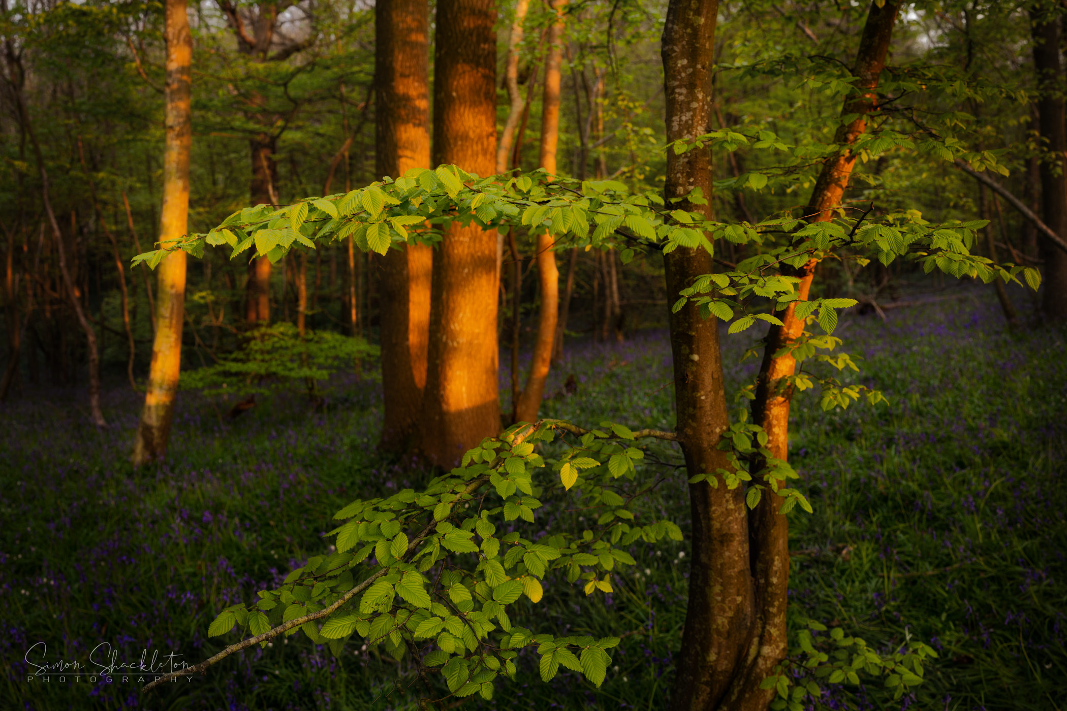 The warm glow of golden hour, shot around 6.15am in mid-April, Hamstreet Woods.