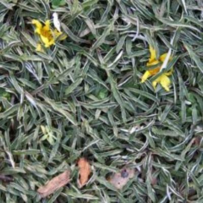 Dymondia margaretae , SILVER CARPET Photo courtesy of  Bamboo Pipeline .