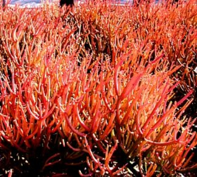 Euphorbia tirucalli  'Sticks on Fire', RED PENCIL TREE Photo courtesy of  San Marcos Growers .