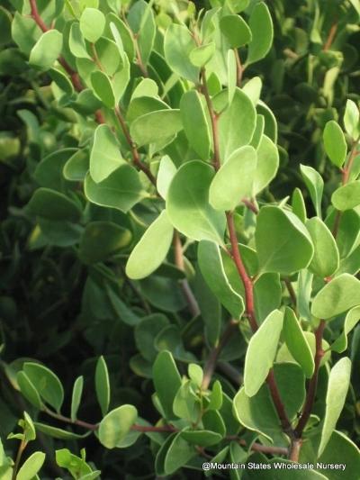 Maytenus phyllanthoides , MANGLE DULCE Photo courtesy of  Mountain States Wholesale Nursery .