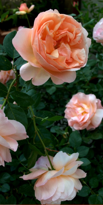 Rosa  'Abbaye de Cluny' (Hybrid Tea Rose). Photo courtesy of Katrina Combs.