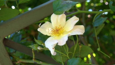 Rosa  chinensis 'Mutabilis' (Butterfly Rose). Photo courtesy of Katrina Combs.