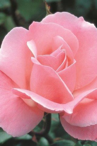 Rosa  'Queen Elizabeth' (Grandiflora Rose).  Photo courtesy of  Devil Mountain Wholesale Nursery .