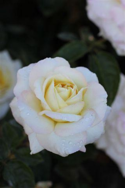 Rosa  'Peace' (Hybrid Tea Rose) Photo courtesy of  Devil Mountain Wholesale Nursery .