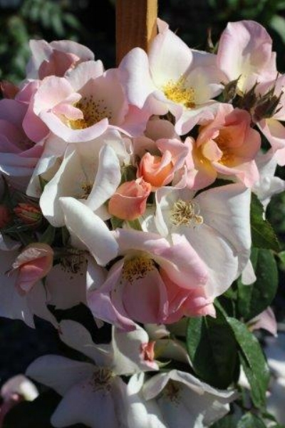 Rosa  'Sally Holmes' (Sally Holmes Climbing Rose) Photo courtesy of  Devil Mountain Wholesale Nursery .