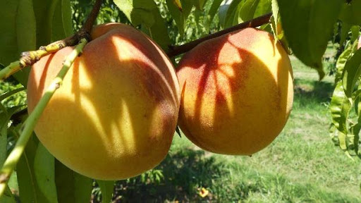 Peach Tree with Peaches on Last Year's Growth. Photo courtesy of Chuck Ingels of UC Cooperative Extension.