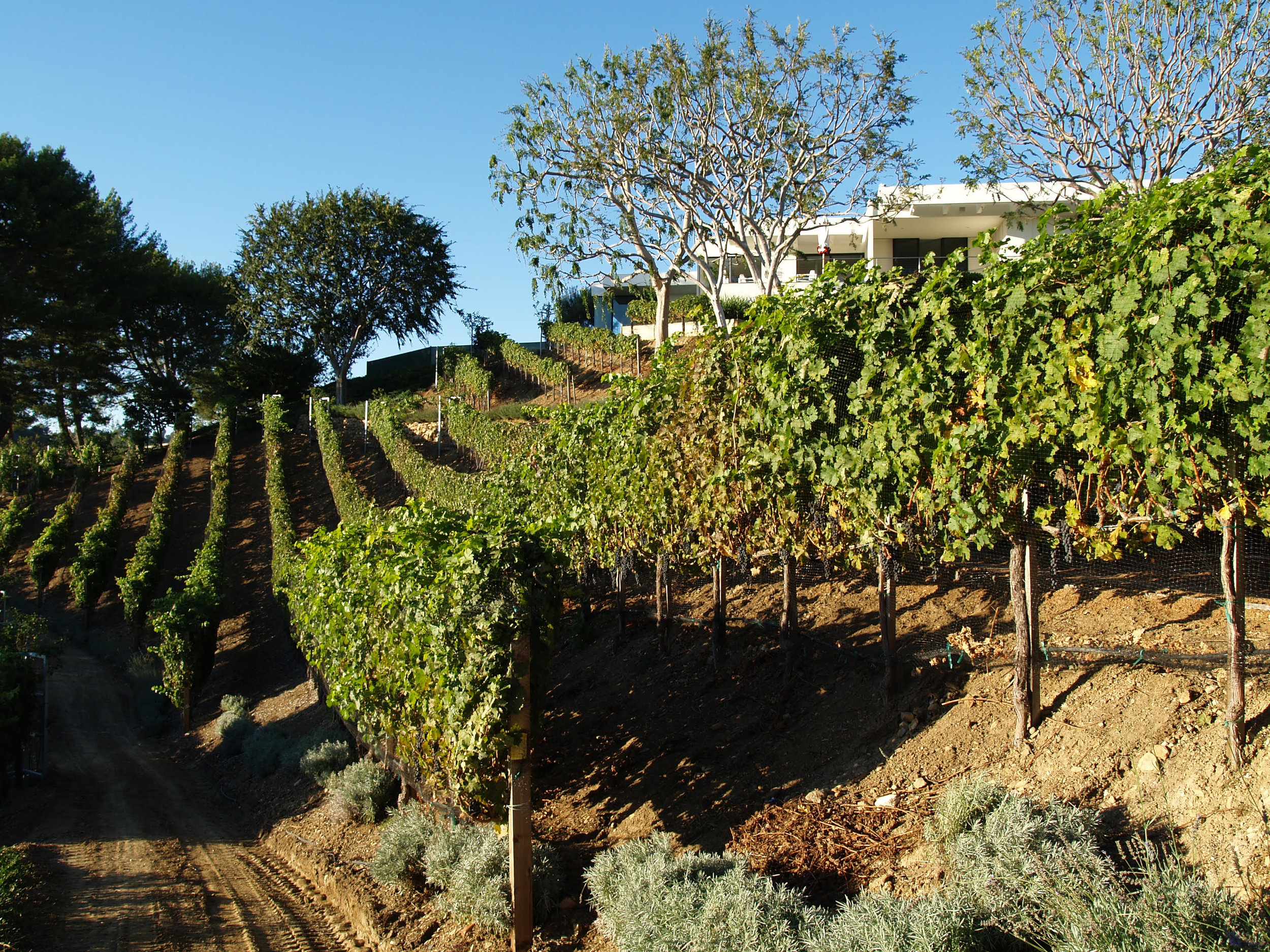 Maguire vineyard with mid-century Quincy Jones house.