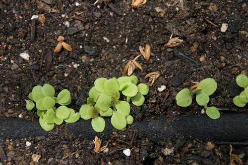 I planted Marvel of Four Season lettuce seeds, which are heat tolerant, directly next to the soaker hose so they stay constantly moist.