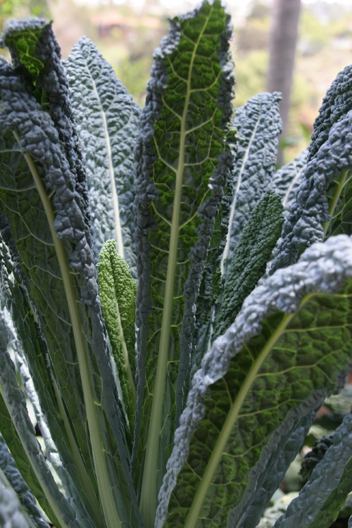 Kale, which is part of the brassica family is one of the healthiest foods you can eat.