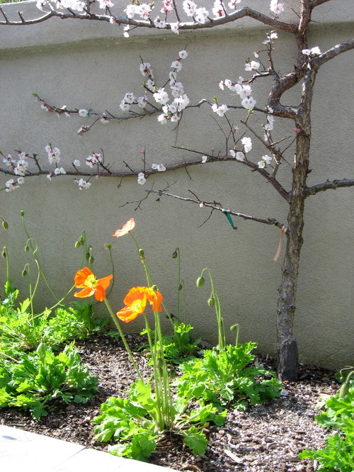 This espaliered apricot tree underplanted with poppies adds beauty as well as a delicious promise of the apricots to come.