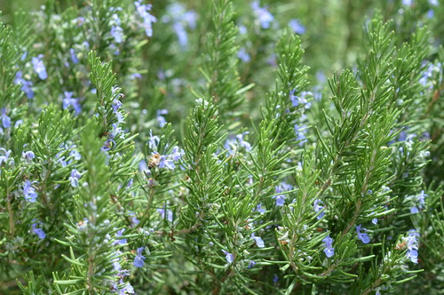 This rosemary hedge attracts many beneficial insects to the garden.