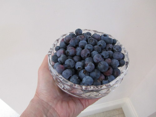 Just harvested blueberries.
