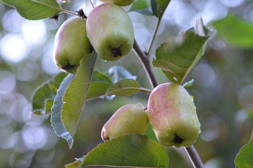 """Anna"" Apples were first developed in Israel in the 1950's."