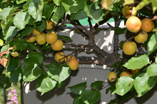 This espaliered 'Gold Kist' Apricot shows abundant fruit production. This is an early ripening variety in San Diego county.