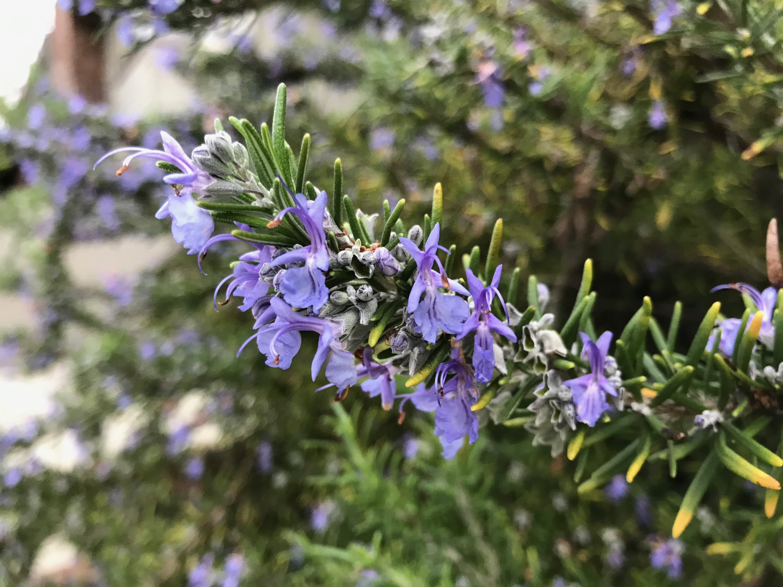 Rosmarinus officinalis , ROSEMARY. Photo courtesy fo Patricia St. John.