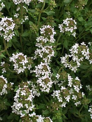 Thymus vulgaris, THYME. Photo courtesy of Emerisa Gardens.