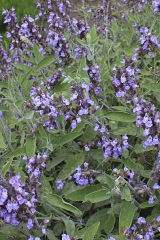 Salvia officinalis, SAGE. Photo courtesy of Devil Mountain Wholesale Nursery.