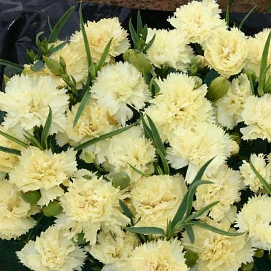 Dianthus caryophyllus 'Lemon Fizz', CARNATION. Photo courtesy of  Emerisa Gardens.