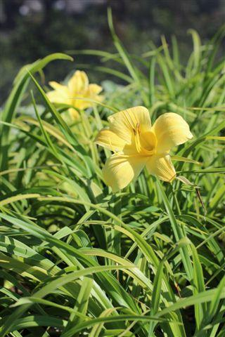 Hemerocallis species 'Evergreen Yellow', DAY LILY. Photo courtesy of Devil Mountain Wholesale Nursery.
