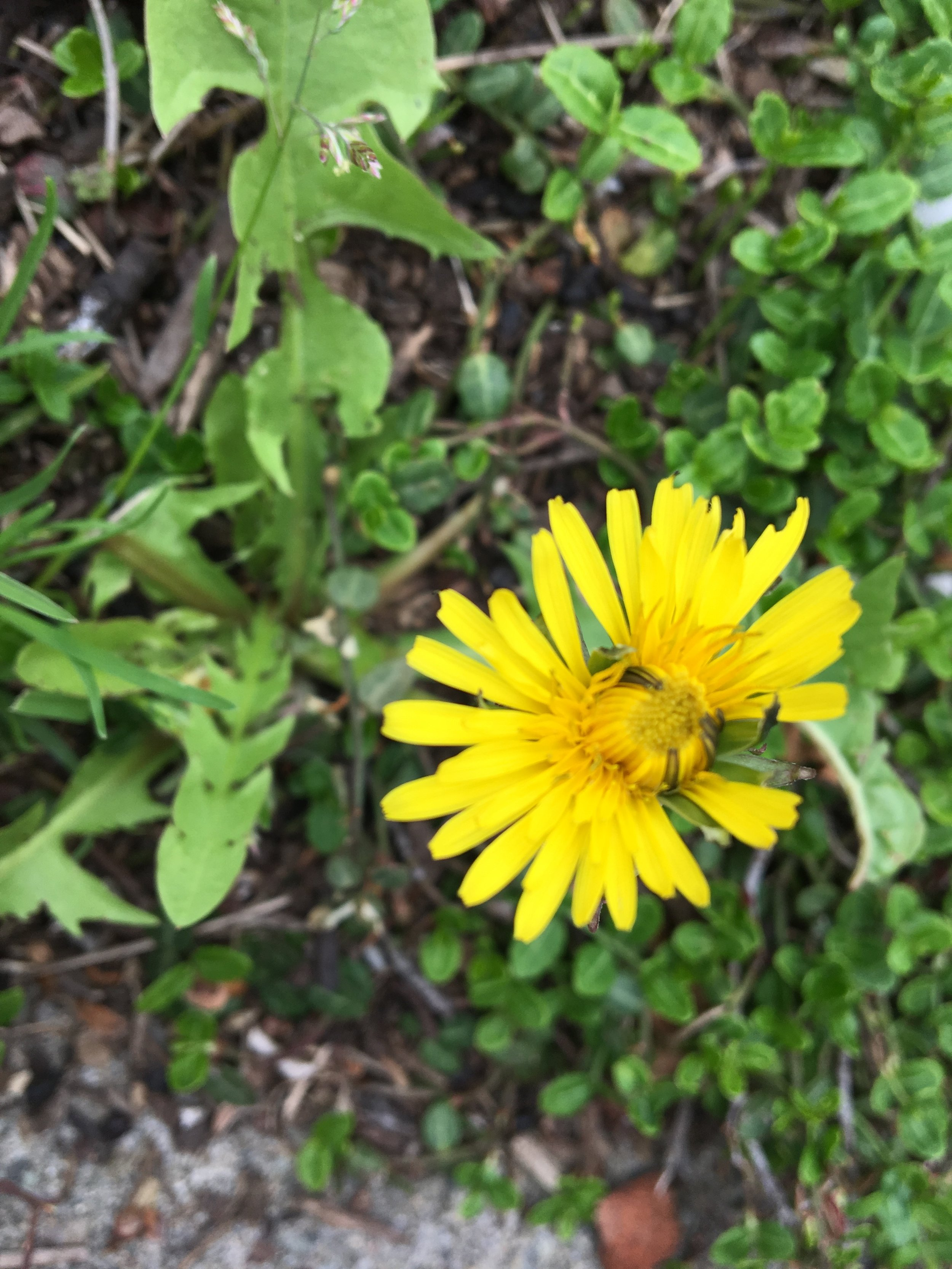 Taraxacum officinalis, DANDELION. Photo courtesy of Mary Fisher.
