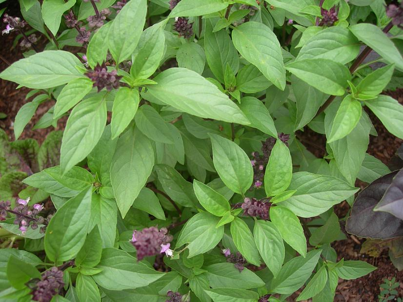Ocimum basilicum var. americanum, BASIL. Photo courtesy of Emerisa Gardens.