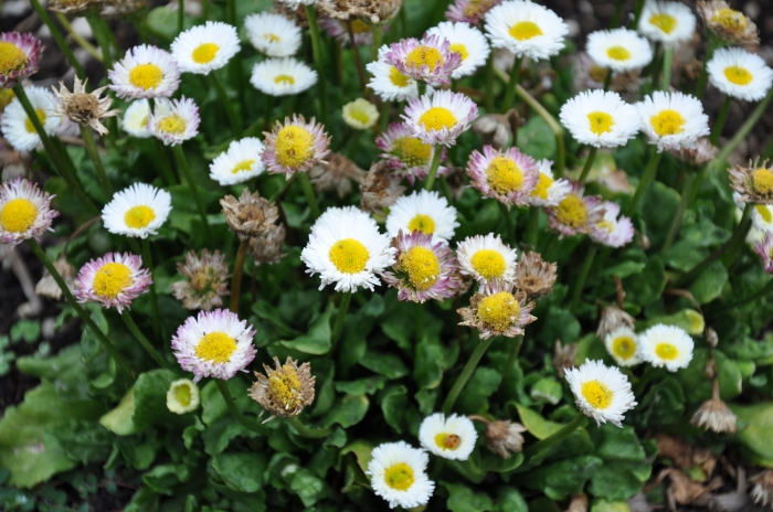 Bellis perennis, ENGLISH DAISY. Photo courtesy fo Plant Master.