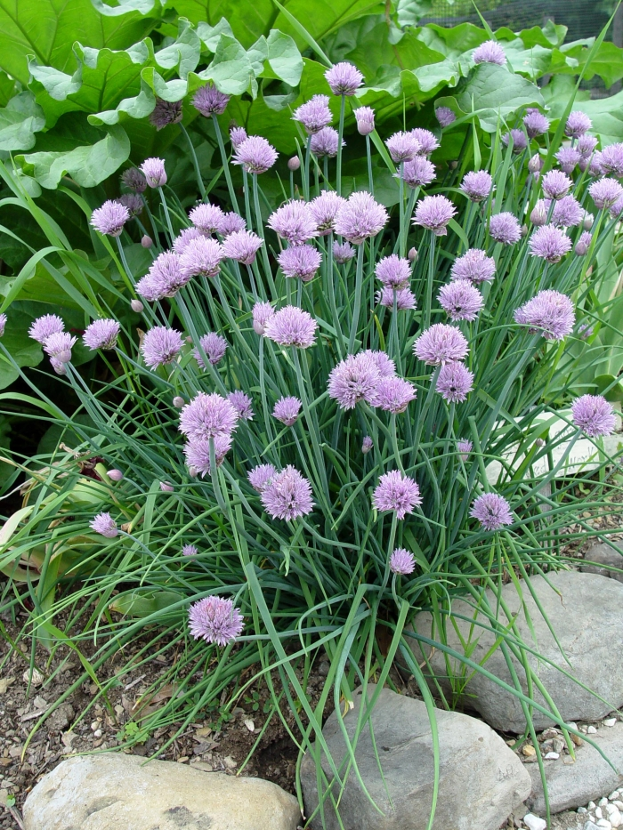 Allium tuberosum, CHIVES. Photo courtesy of Plant Master.