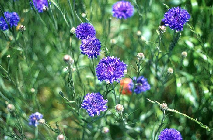 Centaurea cynaus, CORNFLOWER—BACHELOR'S BUTTONS. Photo courtesy of Plant Master.