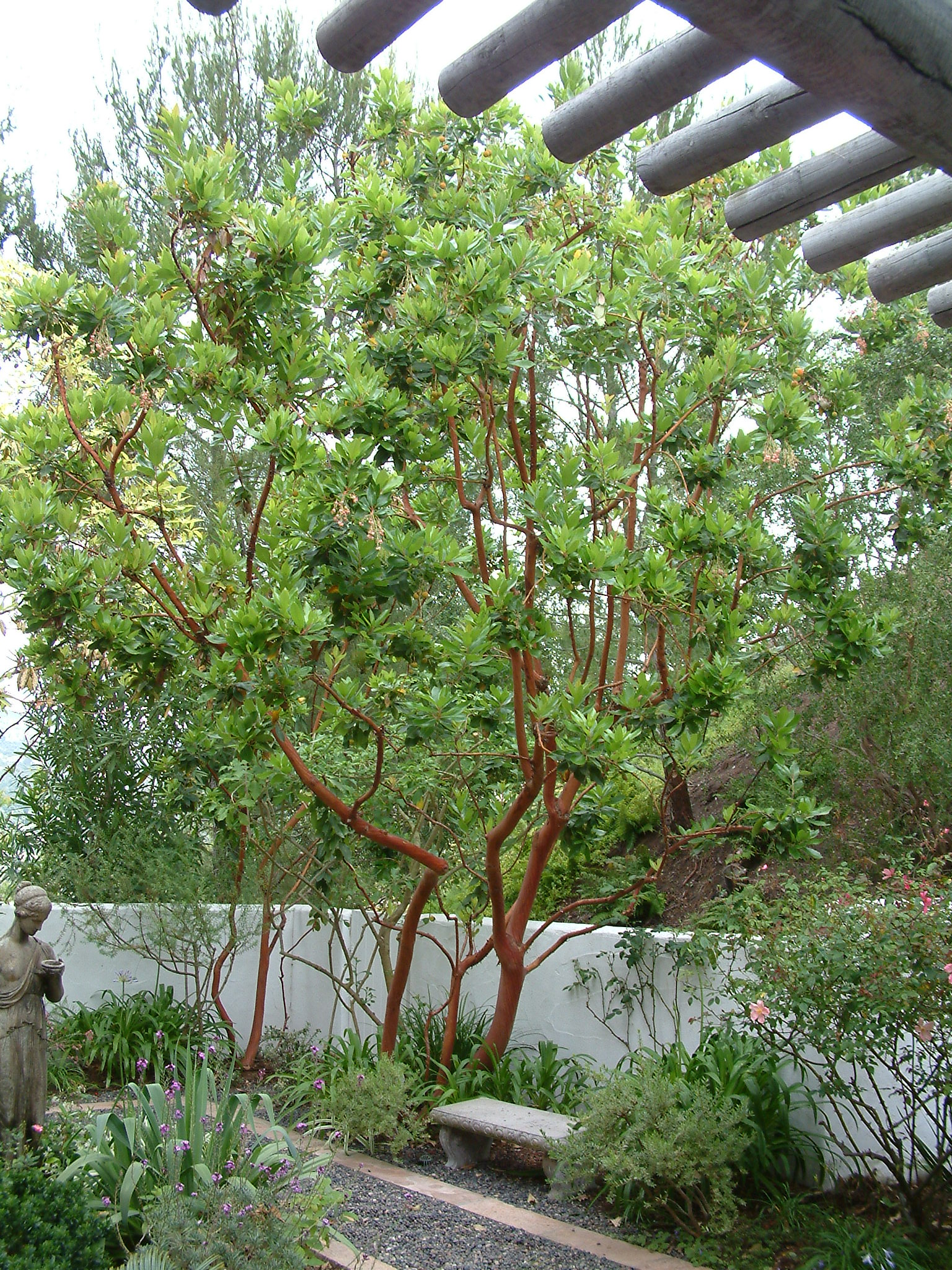 Arbutus 'Marina'. Photo: Plant Master.
